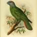 Amazone de Martinique