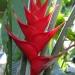 Balisier rouge