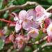 Begonia obliqua (Martinique)