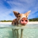 The pigs of the beaches of Big Major Cay