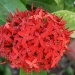 Ixora chinensis rouge
