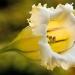 Liane trompette (Solandra grandiflora)