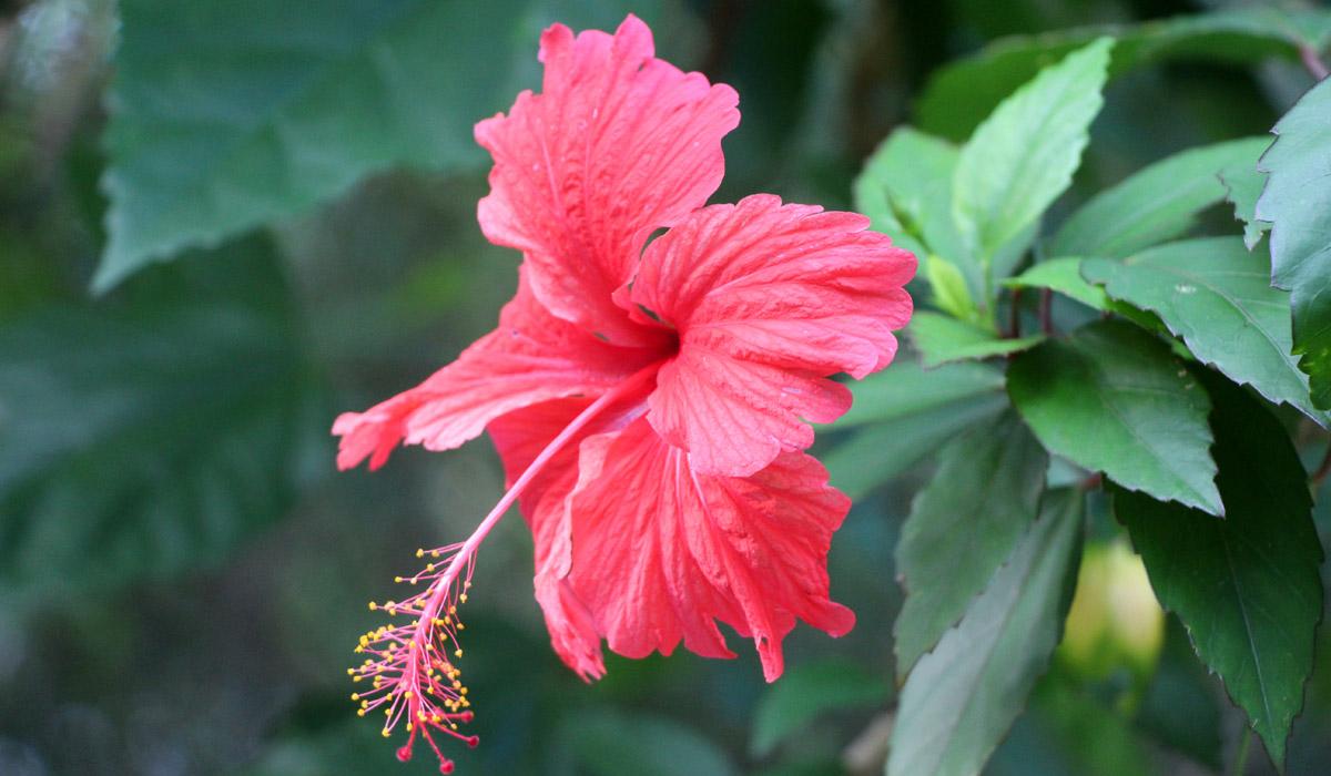 Hibiscus Az Martinique Com