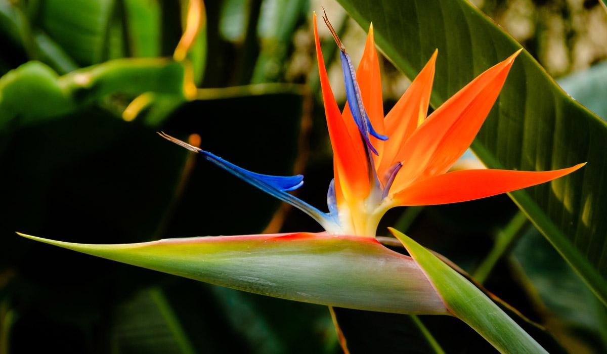 Oiseau De Paradis Az Martinique Com